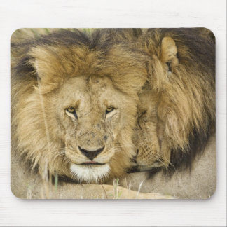 Kenya, Masai Mara. Two lions resting face to Mouse Pad