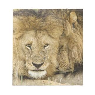 Kenya, Masai Mara. Two lions resting face to Notepad