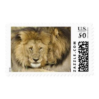 Kenya, Masai Mara. Two lions resting face to Postage