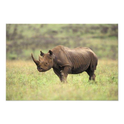 Kenya, Nairobi National Park. Black Rhinoceros Photo