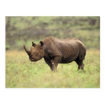 Kenya, Nairobi National Park. Black Rhinoceros Postcard