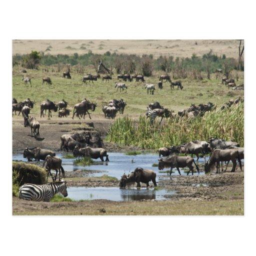 Kenya, No Water No Life Mara River Expedition, 4 Postcard
