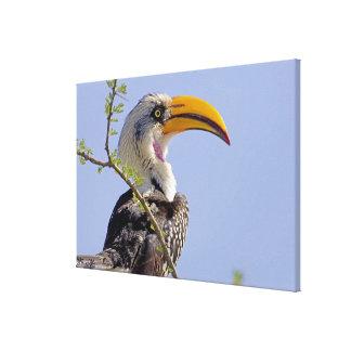 Kenya Profile of yellow-billed hornbill bird Stretched Canvas Print