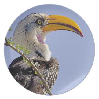 Kenya. Profile of yellow-billed hornbill bird. Dinner Plates