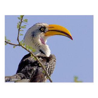 Kenya. Profile of yellow-billed hornbill bird. Postcard