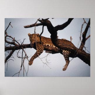 Kenya, Samburu Game Reserve Kenya, Leopard Poster