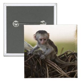 Kenya, Samburu Game Reserve. Vervet Monkey Button