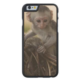 Kenya, Samburu Game Reserve. Vervet Monkey Carved Maple iPhone 6 Case