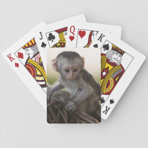Kenya, Samburu Game Reserve. Vervet Monkey Playing Cards