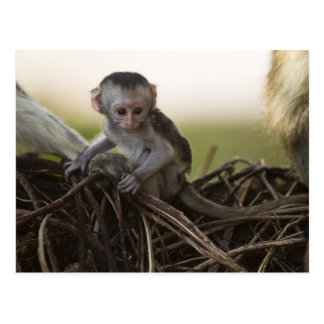 Kenya, Samburu Game Reserve. Vervet Monkey Postcard