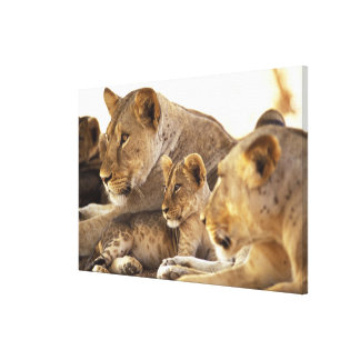 Kenya, Samburu National Game Reserve. Lion cub 2 Canvas Print