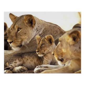 Kenya, Samburu National Game Reserve. Lion cub 2 Poster