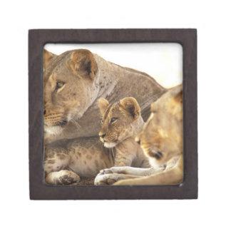 Kenya, Samburu National Game Reserve. Lion cub 2 Premium Trinket Box