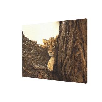 Kenya, Samburu National Game Reserve. Lion cub Stretched Canvas Print