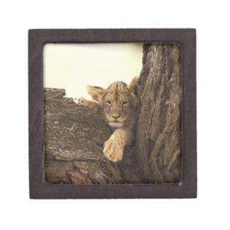 Kenya, Samburu National Game Reserve. Lion cub Premium Keepsake Box