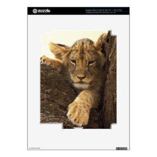 Kenya, Samburu National Game Reserve. Lion cub Decals For iPad 3