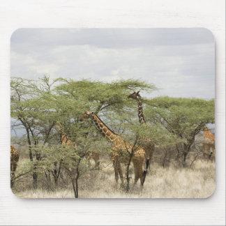 Kenya, Samburu National Reserve. Rothschild Mouse Pad
