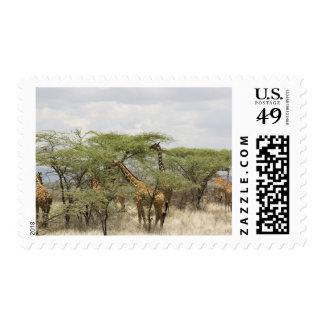 Kenya, Samburu National Reserve. Rothschild Postage