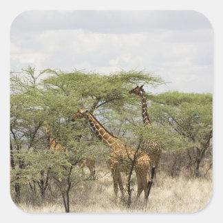 Kenya, Samburu National Reserve. Rothschild Square Sticker