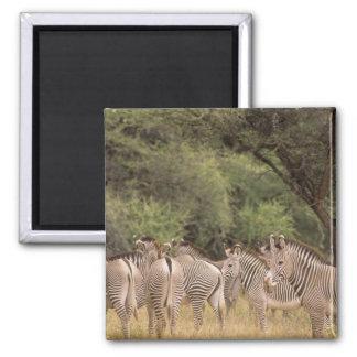 Kenya: Shaba National Reserve, herd of Grevy's Magnets