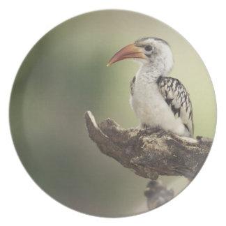 Kenya, Sumburu National Reserve, Red-billed Plate