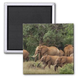 Kenya: Tsavo East National Park, herd African 2 Inch Square Magnet