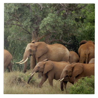 Kenya: Tsavo East National Park, herd African Ceramic Tile