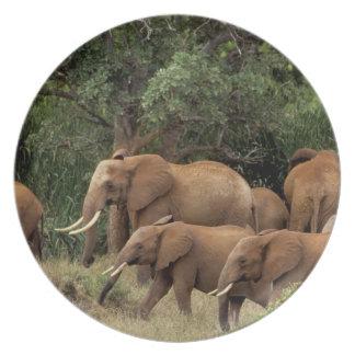 Kenya: Tsavo East National Park, herd African Dinner Plate