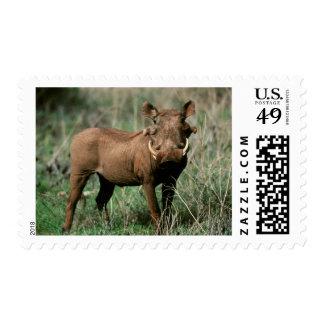 Kenya, Warthog looking at camera Postage