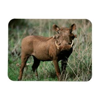 Kenya, Warthog looking at camera Rectangular Photo Magnet
