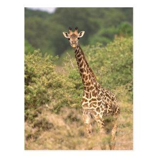 Kenyan giraffe postcard