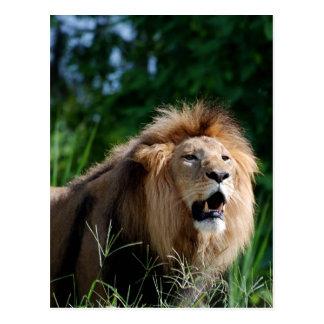 Kenyan Lion Postcard