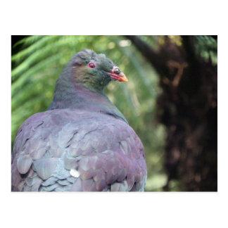 Kereru Closeup Postcard