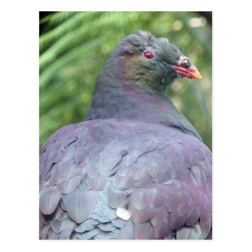 Kereru Closeup Post Card