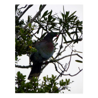 Kereru (Native Wood Pigeon) Postcard