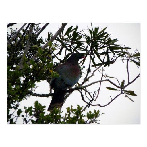 Kereru (Native Wood Pigeon) Post Card