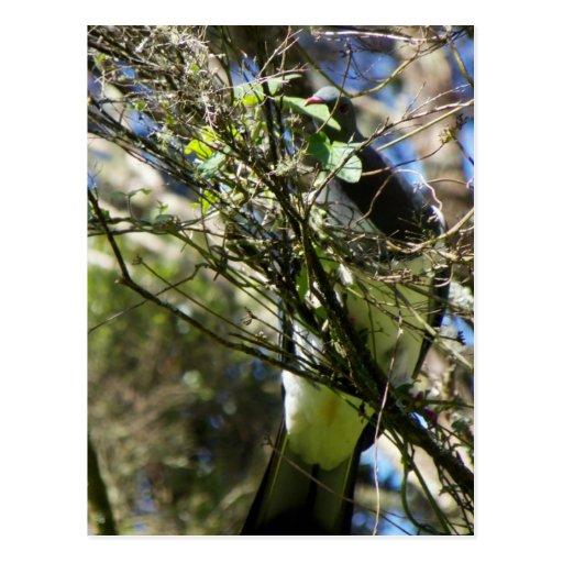 Kereru Plucking Leaf Post Card