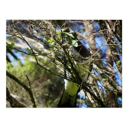 Kereru Plucking Leaf Postcards