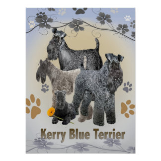 Kerry Blue Terrier  Posters and Prints