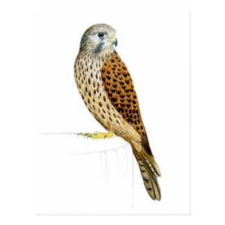 Kestrel 2011 postcard