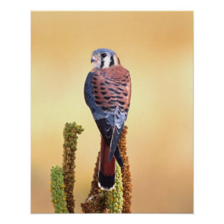 Kestrel, Falco sparverius, Native to US & Canada Poster
