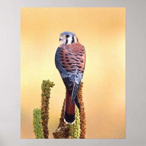 Kestrel, Falco sparverius, Native to US & Canada Poster