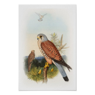 Kestrel Falcon John Gould Birds of Great Britain Poster