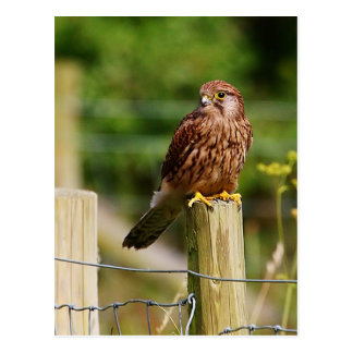 Kestrel Postcard