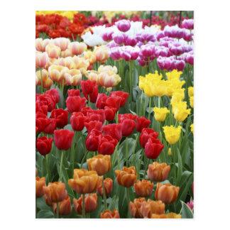 Keukenhof Gardens, Holland, specializes in 2 Postcard