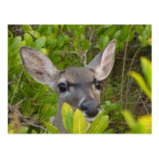 Key Deer Postcard