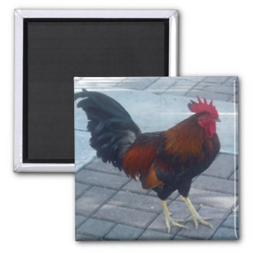 Key West Rooster 2 Inch Square Magnet