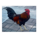Key West Rooster Postcard