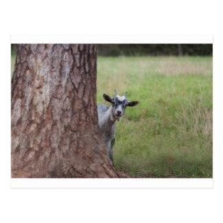 Kid (goat) Peeking From Behind a Tree Postcard