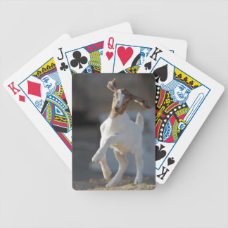 Kid goat playing in ground. bicycle playing cards
